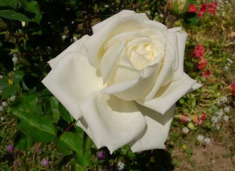 Роза Августа Виктория