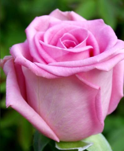 Роза Генрих Мюнх