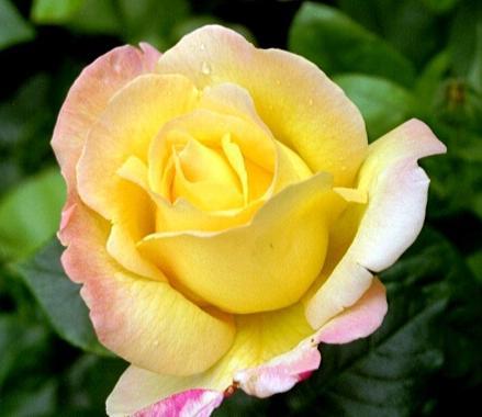 Пернецианские розы: роза Глория Дей