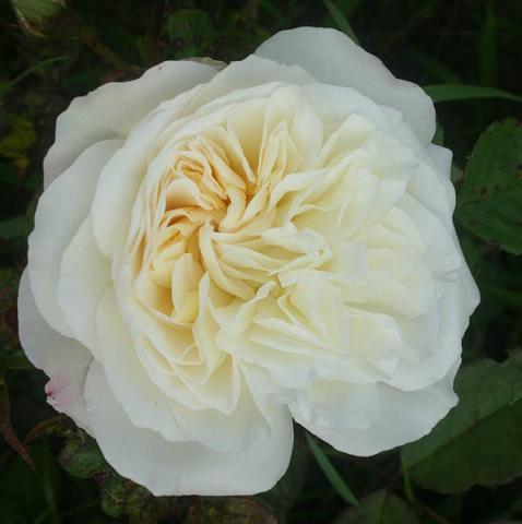Роза комнатная Грус ан Аахен