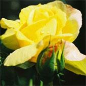 Роза ирландская фото