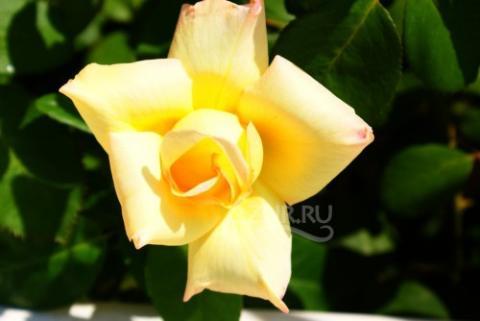 Роза Кабардинка