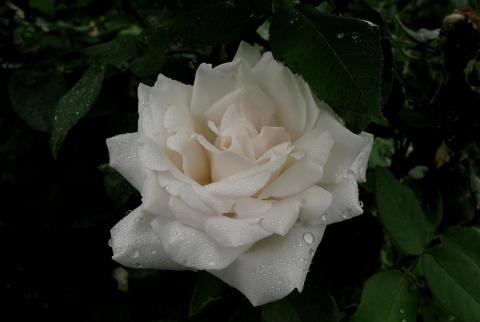 Роза Карл Дружки