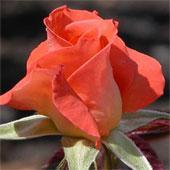 Роза Клотильда Супер комнатная