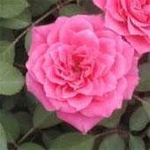 Чайная роза Мадам Фалько