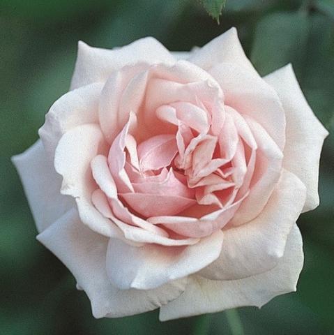Чайная роза Маршал Ниэль
