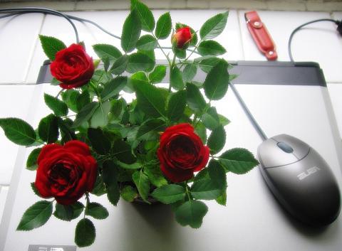Роза комнатная Миниатюр