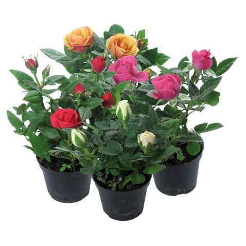 Роза комнатная миниатюрная