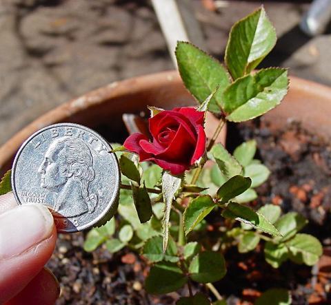 Миниатюрная китайская роза