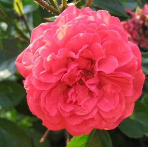 Роза комнатная Оранж Триумф