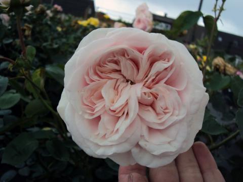 Бурбонская роза Сувенир де ла Мальмезон