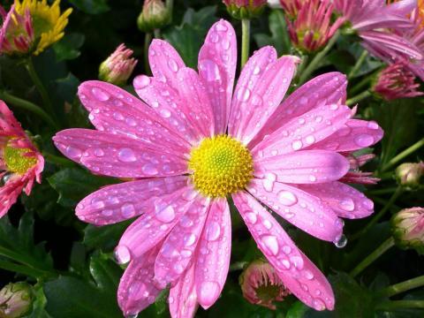 Неунывающая хризантема. Прелестный розовый цветок на живописной картинке стал Ещё краше и ярче под бодрящим осенним дождем.