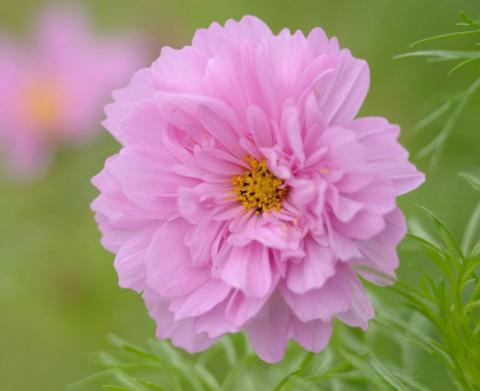 Фото растения космеи