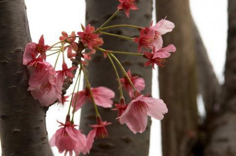 цветок сакуры фото