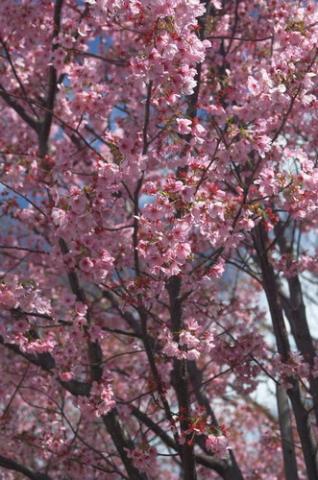 дерево сакура фото