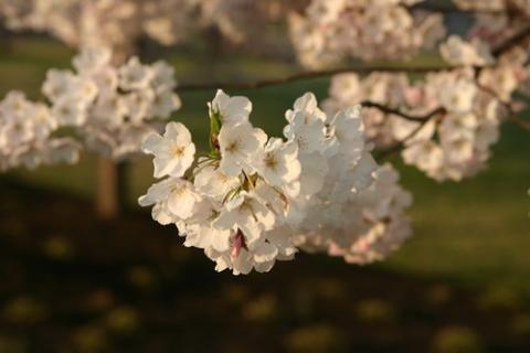 фото цветов сакуры