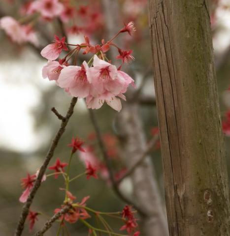 цветы сакуры фото