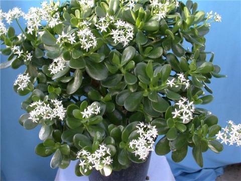 денежное дерево цветы фото