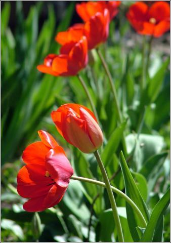 Фото цветок Тюльпан (Túlipa) красный