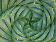 Алоэ или Алое (Aloe), Столетник