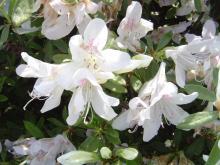 Белые цветки рододендрона фото
