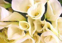Белые каллы славятся красотой покрывала, окружающего, как фата невесту, соцветие-початок.