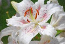 Рисунок белой лилии