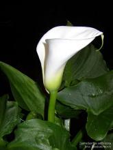 Фото цветок белый Калла (Calla) или Зантедехия (Zantedeschia)
