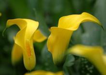 Фото цветок желтый Калла (Calla) или Зантедехия (Zantedeschia)