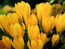 Фото цветок Крокус желтый или Шафран (Crocus)