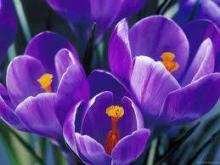 Фото цветок фиолетовый Крокус или Шафран (Crocus)