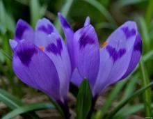 Фото цветок Крокус или Шафран (Crocus)