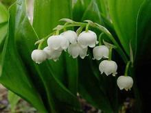 Ландыш (Convallaria)