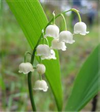 Фото цветок Ландыш (Convallaria)