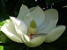 Фото цветок Магнолия (Magnolia)
