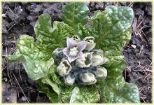 Фото цветок Мандрагора (mandragora)