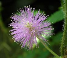 Фото цветок Мимоза (Mimosa)