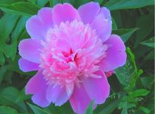 Фото цветок Пион (Paeonia) сиреневый