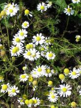 Фото цветок Ромашка луговая