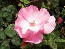 Полумахровая роза радостно сияет на фотографии, наслаждаясь льющимися на нее потоками света