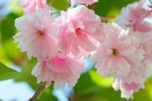 Цветы миндаля. Глядя на фотографию трогательных светло-розовых цветов, вспоминается слово «миндальничать» - быть чересчур нежным и трепетным