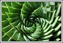 Алоэ веерное или Алое (Aloe), Столетник