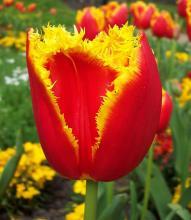 Фото цветок Тюльпан (Túlipa) красный махровый