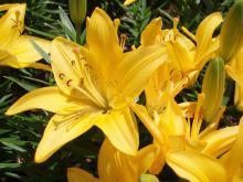 желтые лепестки лилии