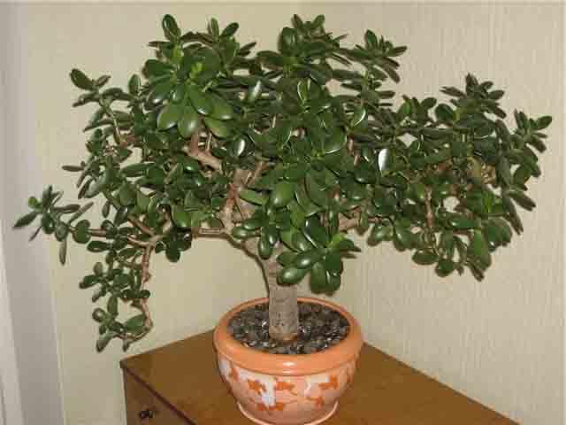 Денежное дерево или толстянка обыкновенная по фэн-шуй