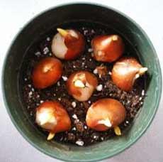 Посадка луковиц тюльпанов на выгонку