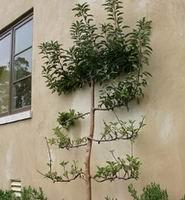 Шпалерная изгородь у стены