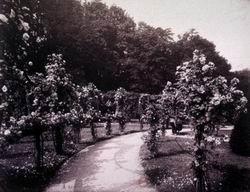 Канатная аллея из роз в саду Багатель (фото 1910 года)
