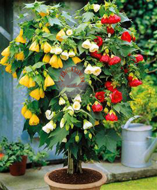 фото цветов абутилон
